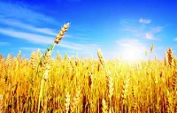 Picture of a wheat field and blue sky