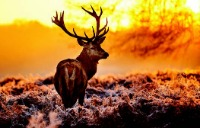 Deer standing in a field at sunset.